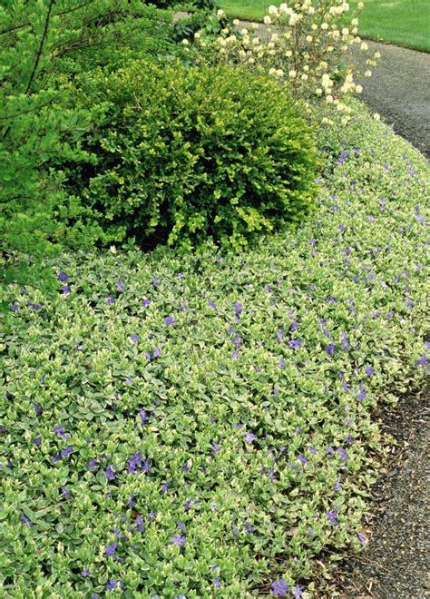 pflanze immergrün winterhart blühend bodendecker pflanzen ideen f 252 r schnellwachsende sorten
