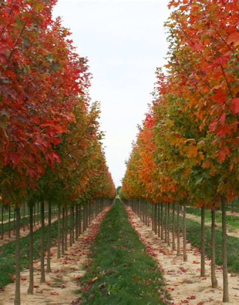 tree stock hoss tree farm big trees for less money family owned and operated locally