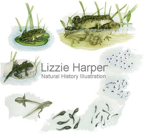 Common frog - lifecycle – Lizzie Harper Illustration ...
