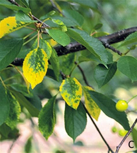 cherry tree yellow leaves yellowing leaves and leaf loss reported in tart cherries msu extension