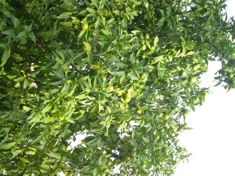 lime tree lime tree pictures images photos facts on lime trees