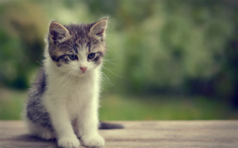 Cat Wallpaper baby cat wallpapers baby animals