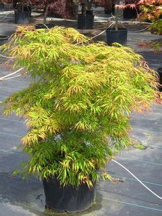 maple tree kingdom 1000 images about japanese maples on acer palmatum green leaves and leaves