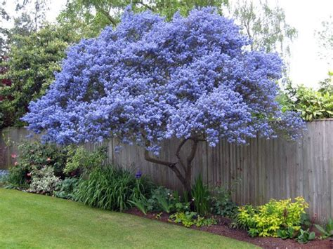 flowering trees for small gardens ceanothus flowering evergreen grown as a tree