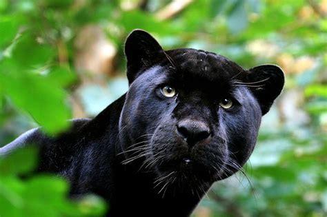 world of reading black panther this is black panther level 1 panthera