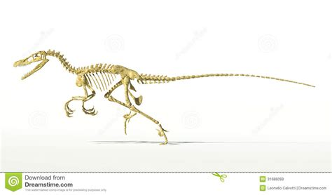 velociraptor dinosaur full skeleton scientifically