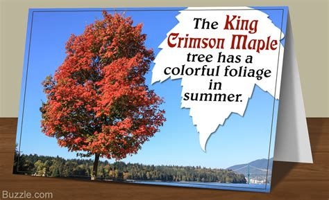 all the facts about the king crimson maple tree listed here