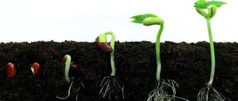 4 techniques for successfully germinating cannabis seeds