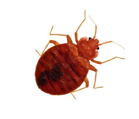 bead bugs get the facts on bedbugs jimmybugs