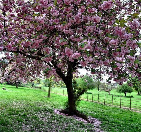 k cherry tree new year s resolutions remember those west of