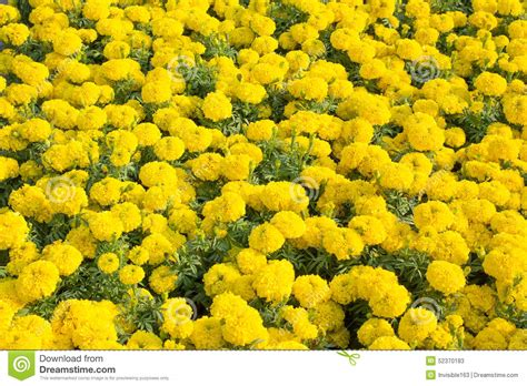 marigold flower garden marigold flower garden stock photo image 52370183