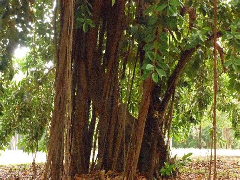 rubber tree st rubber tree picture of real tours jamaica day tours