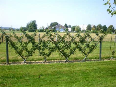haie fruiti 232 re poirier en croisillon la taille des arbres fruitiers
