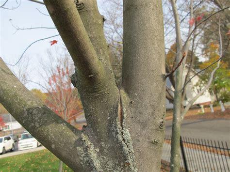 maple tree trunk splitting cherry tree split bark henry homeyer