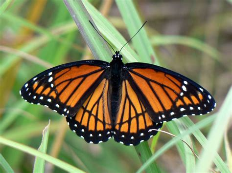 of a butterfly viceroy butterfly