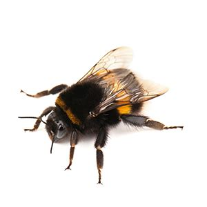 bumble bee rubber st stinging insects how to eliminate pests steve s