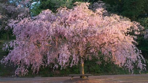 a weeping cherry tree in the sunset light 夕暮れのしだれ flickr