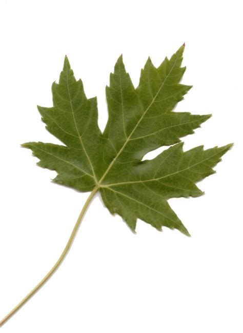 free green maple leaf stock photo freeimages