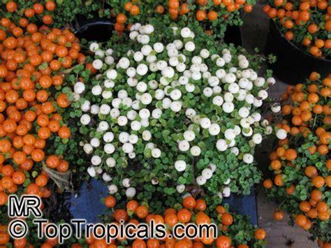 bead plant nertera granadensis nertera depressa bead plant coral