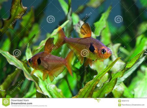 r 233 servoir d eau douce d aquarium avec de t 233 tra poissons photo stock image 60581472