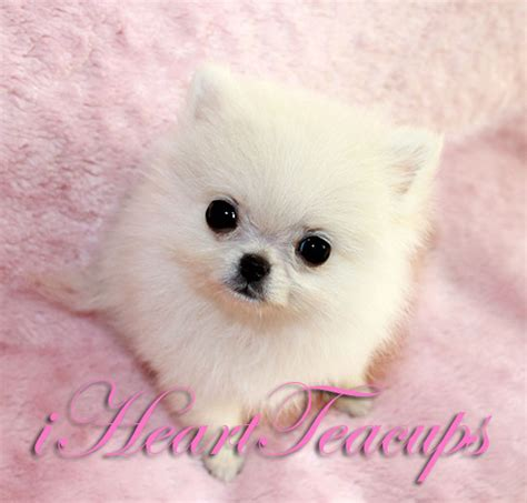 micro for sale micro mini teacup chihuahua puppies for sale breeds