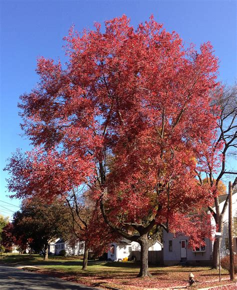 maple tree all year acer rubrum