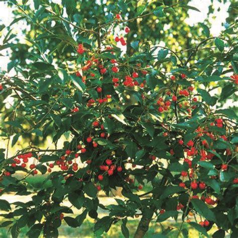 cherry griotella