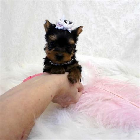 yorkshire terrier sale micro teacup yorkshire terrier pup for sale evelyn