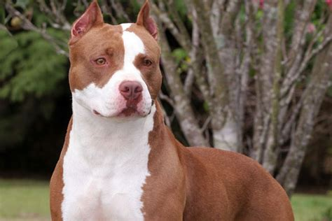 brown pit brown and white pitbull hd wallpapers pic 2013 all about