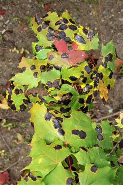 maple tree problems maple tree diseases