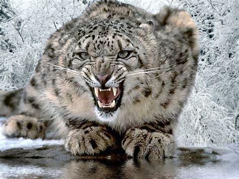 big cat big cats animal