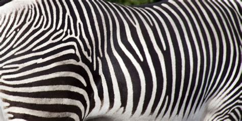 File Zebra Stripes 5018224290 Jpg Wikimedia Commons