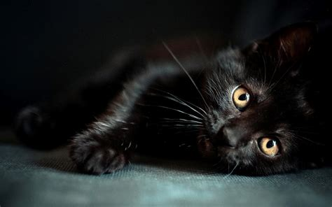 black cat images for black cat wallpapers