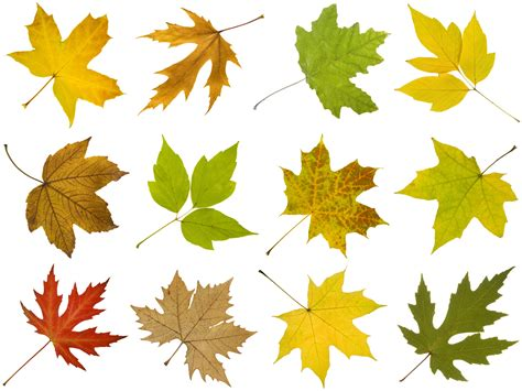 maple tree identification pictures how to identify maple tree varieties lovetoknow