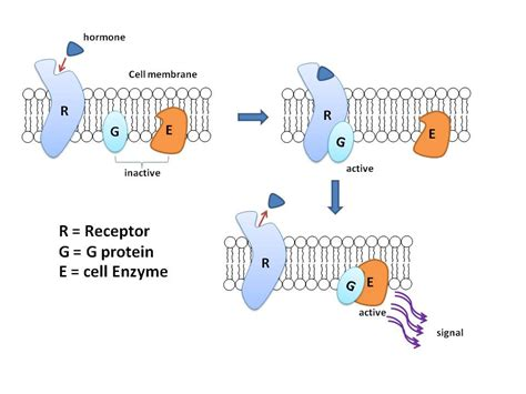 protein g file g protein jpg wikimedia commons