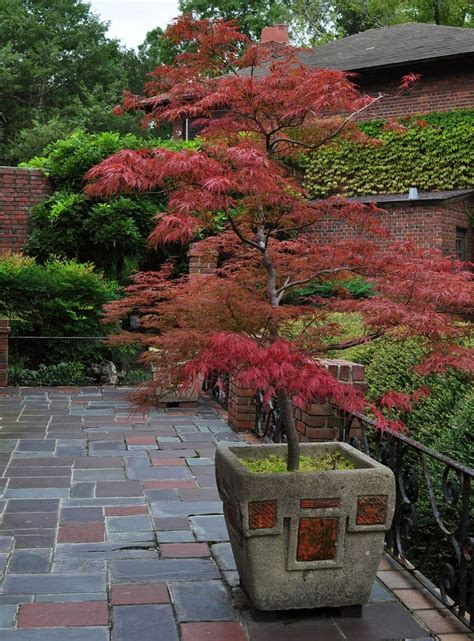 maple tree nursery 47 best images about japanese maples in containers on gardens olympia and japanese