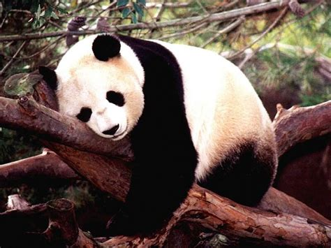 panda china panda wallpapers 171 nat geo adventure