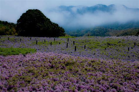 flower tunnel wisteria flower tunnel in japan 20 unbelievably