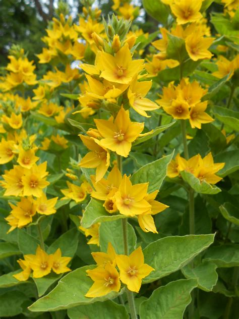 yellow garden flower all change in the borders of an uckfield garden uckfield