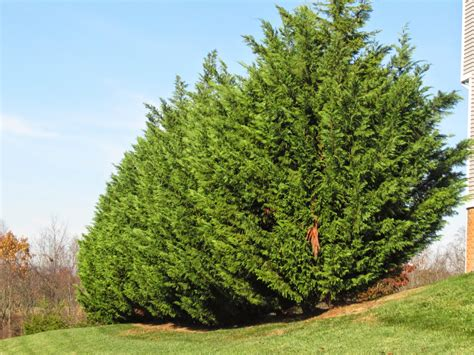 leyland cypress trees groshs lawn service leyland cypress tree pruning in
