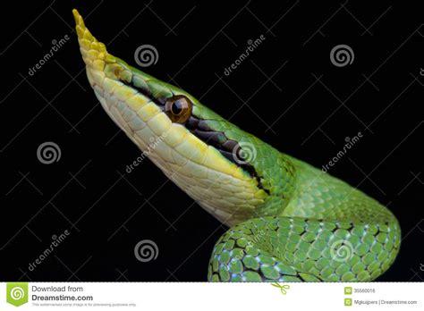 Rhinoceros Ratsnake / Rhynchophis Boulengeri Royalty Free ... Arboreal Snakes