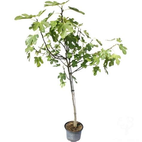 buy small tree small fig tree gift send a fig tree