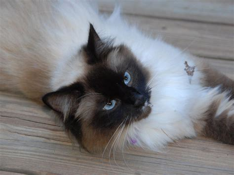 picture of a cat birman cat wallpapers animals wiki pictures