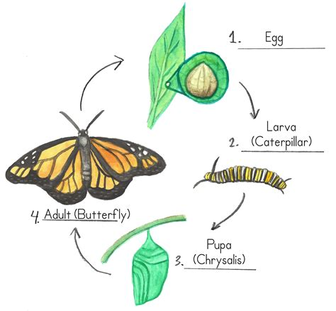 of a butterfly the cycle of a butterfly lessons tes teach