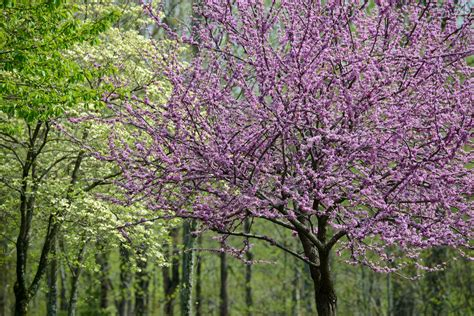 trees nc the best flowering trees in the in carolina