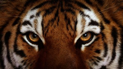 tiger eye tiger hd wallpapers tiger pictures free 1080p
