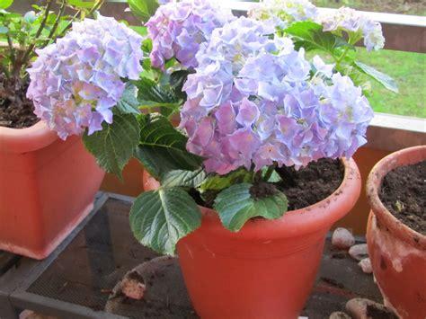 hydrangeas in pots images