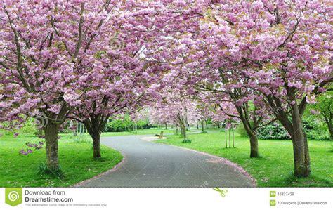 cherry blossom path royalty free stock photos image 16827428