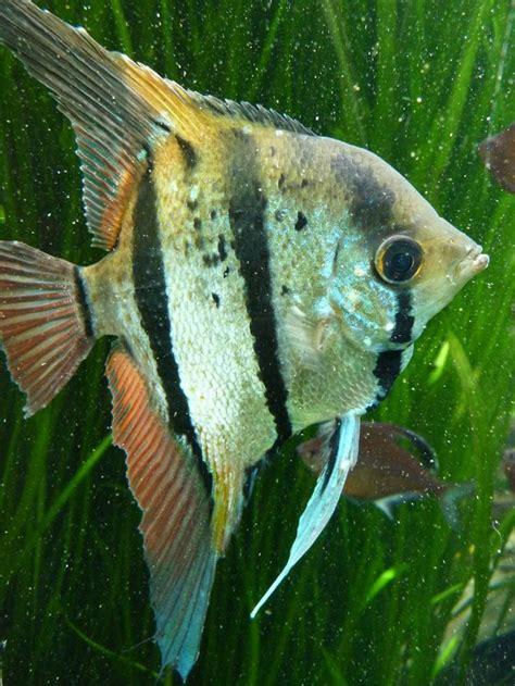 les 37 meilleures images 224 propos de animaux poisson eau douce sur poisson tropical