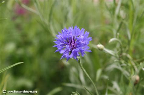 pictures of flowers cornflower picture 18